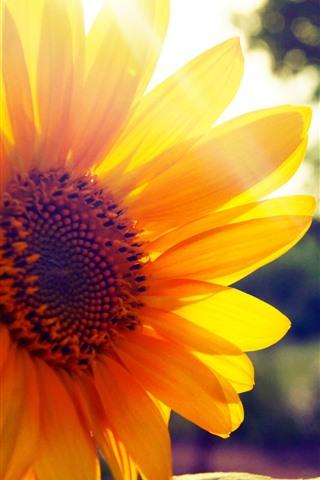 iPhone Wallpaper Sunflower close-up, yellow petals, backlight