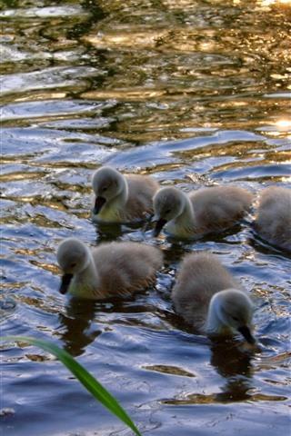 iPhone Wallpaper Swan family, water, lake