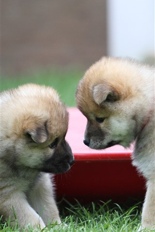 iPhone Wallpaper Two cute puppies, furry dogs