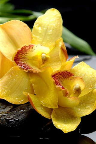 iPhone Wallpaper Yellow phalaenopsis, flowers, water droplets, stones