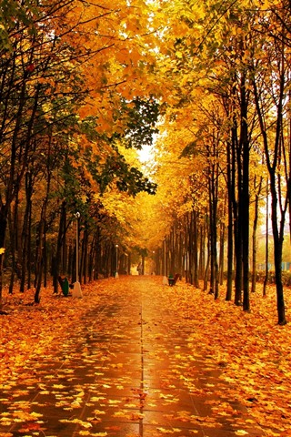 iPhone Wallpaper Beautiful park in autumn, yellow maple leaves, trees, wet road