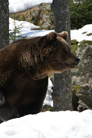 iPhone Wallpaper Brown bear, snow, winter, rocks