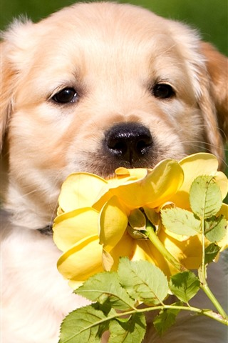 iPhone Wallpaper Cute dog and yellow rose