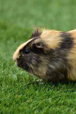 iPhone Wallpaper Cute guinea pig, green grass