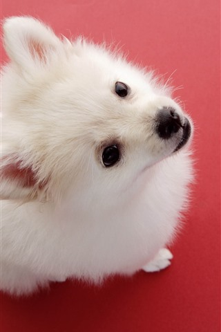 iPhone Wallpaper Cute white dog, look, red background