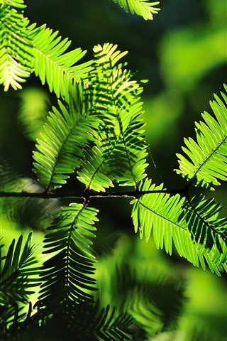 iPhone Wallpaper Green fern leaves, backlight
