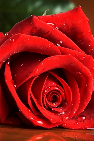 iPhone Wallpaper One red rose close-up, flower, water droplets
