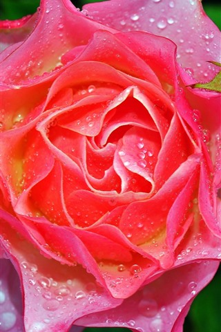 iPhone Wallpaper Pink rose macro photography, petals, water droplets