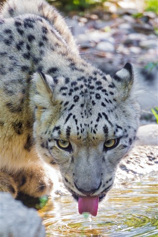 iPhone Wallpaper Snow leopard drink water