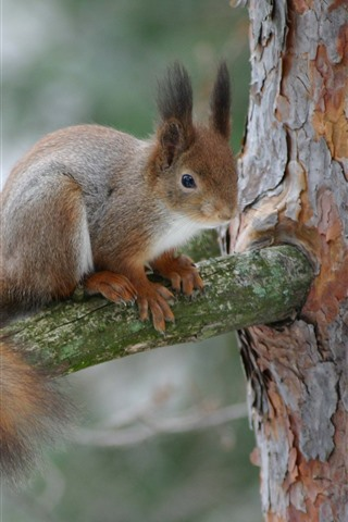 iPhone Wallpaper Squirrel on tree, wildlife