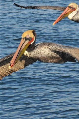 iPhone Wallpaper Two pelicans flight, wings, sea