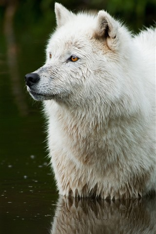 iPhone Wallpaper White wolf, stand in water