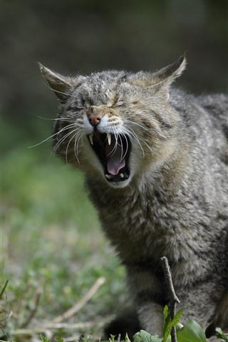 iPhone Wallpaper Wildcat, yawn, teeth, grass