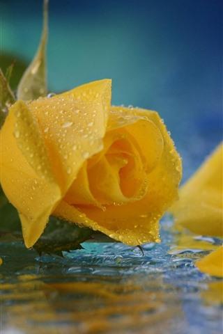 iPhone Wallpaper Yellow rose close-up, petals, water droplets