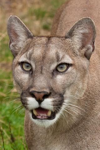 iPhone Wallpaper Cougar, face, teeth, wildlife
