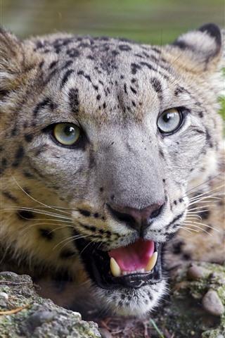 iPhone Wallpaper Cute cheetah, face, eyes, look, teeth