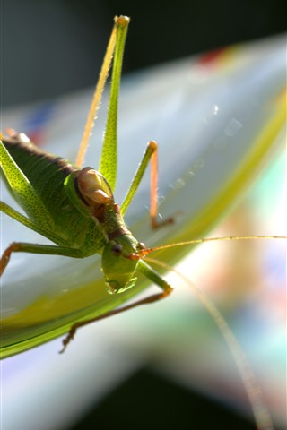 iPhone Wallpaper Grasshopper, insect macro photography, hazy