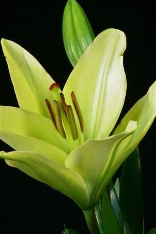iPhoneの壁紙 緑のユリの花、黒の背景
