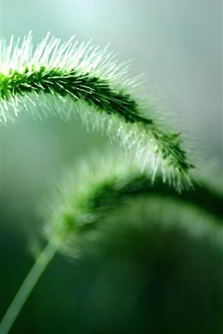 iPhone Wallpaper Green setaria, grass close-up