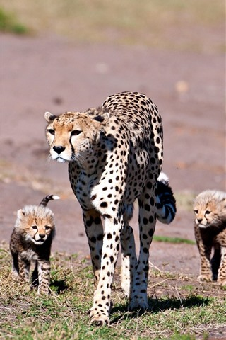iPhone Wallpaper Leopard, cubs, family, walking
