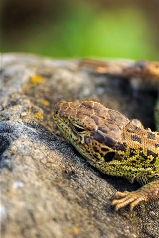 iPhone Wallpaper Lizard, eyes, stone
