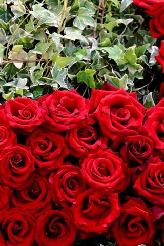 iPhoneの壁紙 多くの赤いバラ、花、緑の葉
