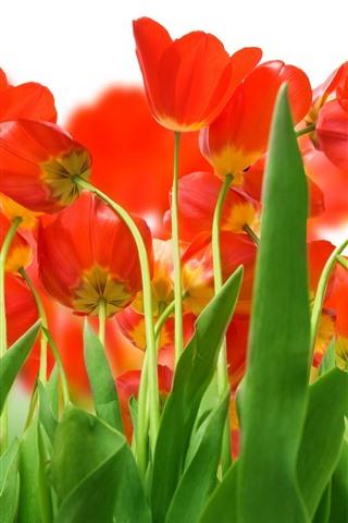 iPhone Fond d'écran Beaucoup de tulipes rouges, feuilles vertes, tige
