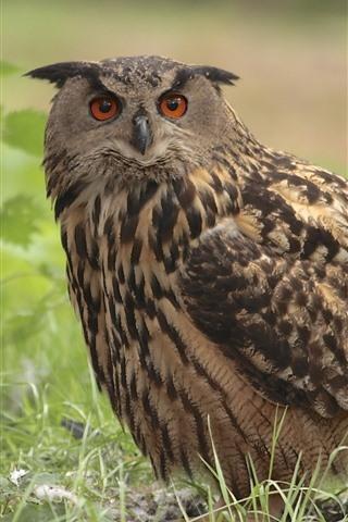 iPhone Wallpaper One owl, grass, bird