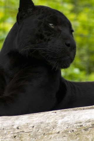 iPhone Wallpaper Panther, rest, look, zoo