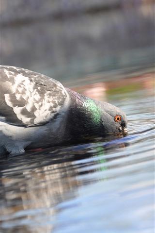 iPhone Wallpaper Pigeon drink water