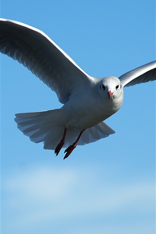 iPhone Wallpaper Seagull flying, blue sky, wings, beak