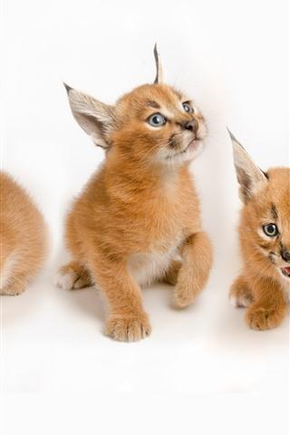 iPhone Wallpaper Three lynx cubs, cute animal