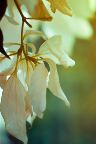 iPhone Wallpaper Twigs, white flower petals
