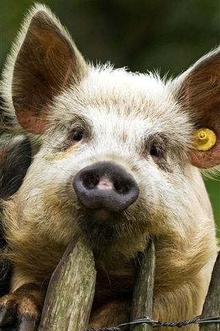 iPhoneの壁紙 2匹の豚、フェンス