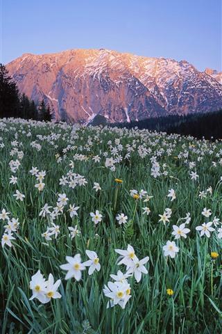 iPhone Papéis de Parede Áustria, muitas flores brancas, narciso, montanhas