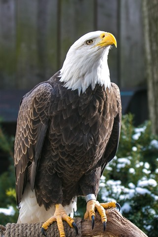 iPhone Wallpaper Bald eagle, beak, head, wood