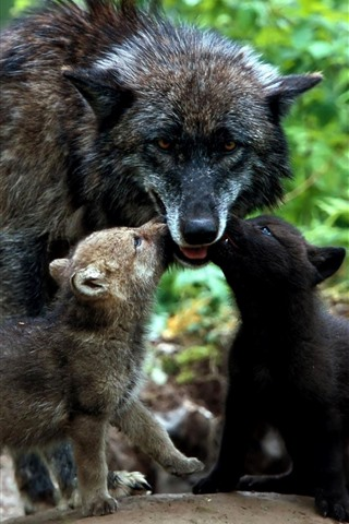 iPhone Wallpaper Black wolf, cubs, family