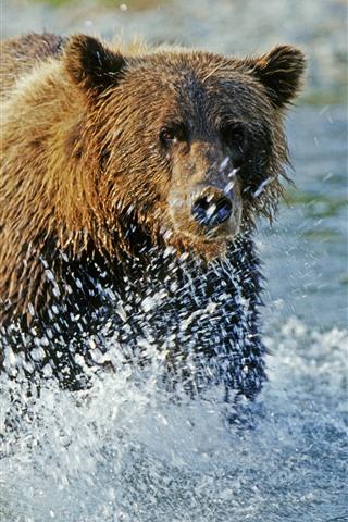 iPhone Wallpaper Brown bear walk in the water, water splash