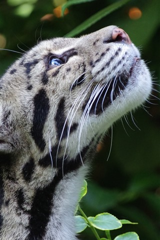 iPhone Wallpaper Clouded leopard, look up