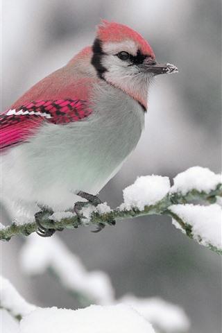 iPhone Wallpaper Cute bird, pink feather, twigs, snow, winter