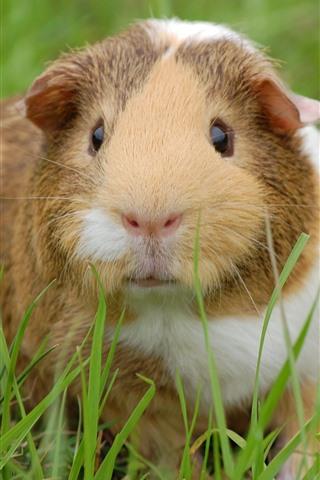 iPhone Wallpaper Cute guinea pig, look, grass