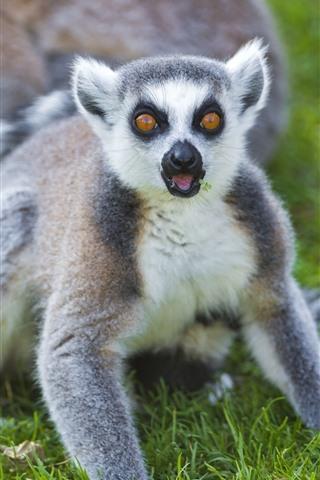 iPhone Wallpaper Cute lemur look at you, green grass