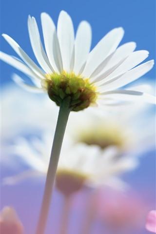 iPhone Wallpaper Daisy, white petals, stem, blue sky
