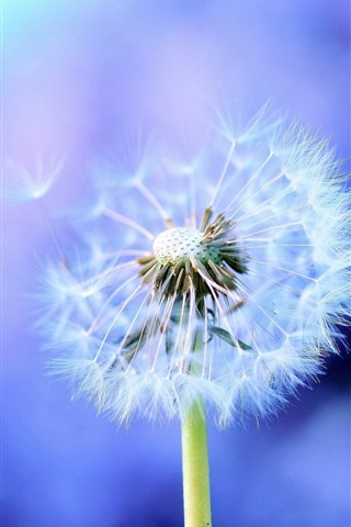 iPhone Wallpaper Dandelion, white flower, blue background
