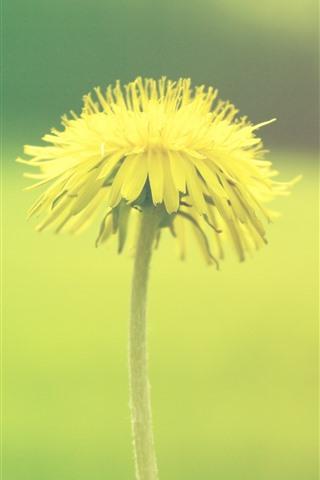 iPhone Wallpaper Dandelion, yellow flower, green background
