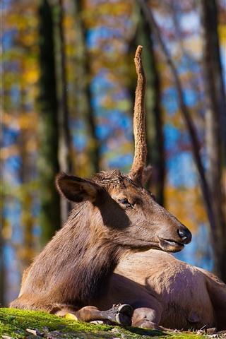 iPhone Wallpaper Deer, rest, horns, grass, ground, trees
