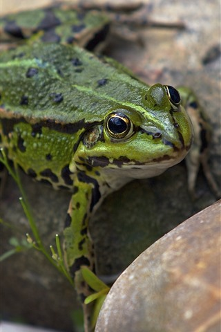 iPhone Wallpaper Frog, stone