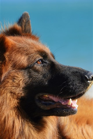 iPhone Wallpaper German shepherd dog, mouth, blue background