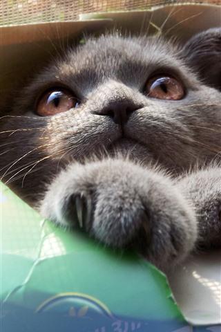 iPhone Обои Серый кот в бумажной коробке