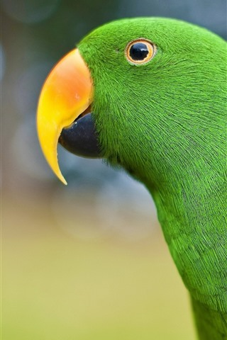 iPhone Wallpaper Green parrot, beak, look